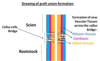 Drawing of graft union formation